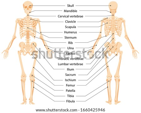 Human anatomical skeleton.  Infographic front view and back view ,vector graphic illustration. Cartoon person with body bones and skull with names to study medical biology system isolated on white stock photo