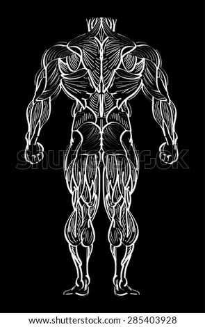 human anatomy and muscle