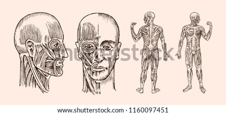 human anatomy muscular and