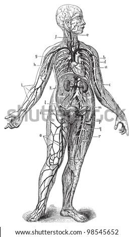 Human anatomy / vintage illustrations from Die Frau als Hausarztin 1911