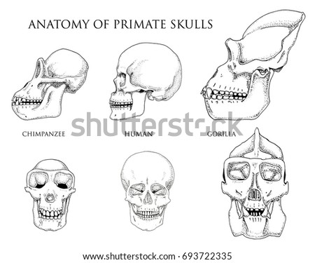 Human and chimpanzee, gorilla. biology and anatomy illustration. engraved hand drawn in old sketch and vintage style. monkey skull or skeleton or bones silhouette. front view or face and profile.