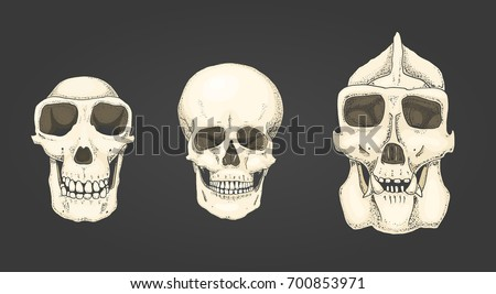 Human and chimpanzee, gorilla. biology and anatomy illustration. engraved hand drawn in old sketch and vintage style. monkey skull or skeleton or bones silhouette. front view or face.