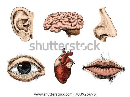 human biology  organs anatomy