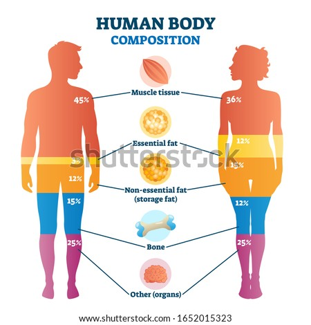 Human body composition infographic, vector illustration diagram. Percentage proportions for muscle tissue, essential fat, non-essential fat or storage fat, bones and other. Healthy life information.