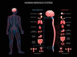 Human body nervous system sympathetic parasympathetic charts with realistic  organs depiction anatomical terminology black background vector illustration