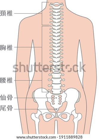 Human body spinal column illustration (spine)  Described as cervical spine, thoracic spine, lumbar spine, sacrum, and coccyx in Japanese