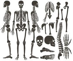 Human bones skeleton dark black silhouette collection. High detailed Vector Set of bones illustration