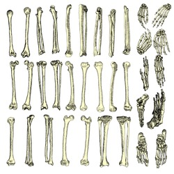 Human bones skeleton drawing set. Collection of  arms, legs, wrists. Vector illustration.