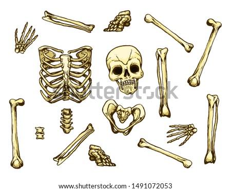 Human bones.  The human skeleton.
