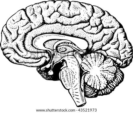 Blank half brain diagram more information blank half brain diagram ccuart Image collections