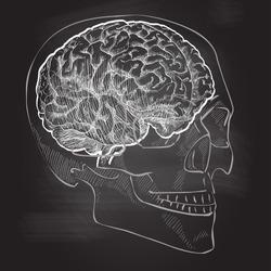 Human brain head anatomy. Vector vintage illustration. Chalk drawing on the blackboard