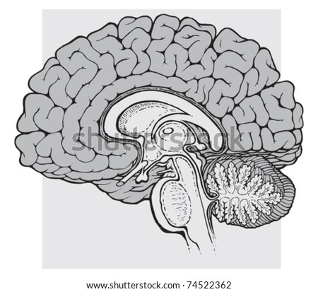Vector Images, Illustrations and Cliparts: human brain sagittal view ...
