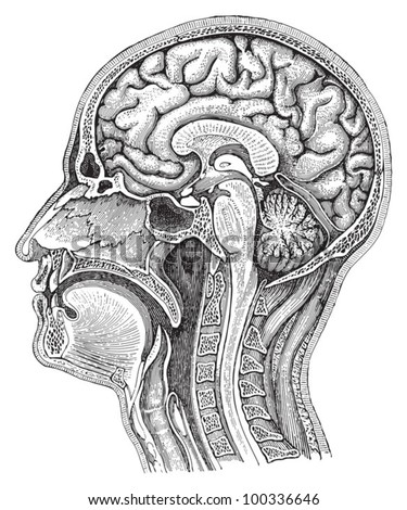 Human brain / vintage illustration from Meyers Konversations-Lexikon 1897