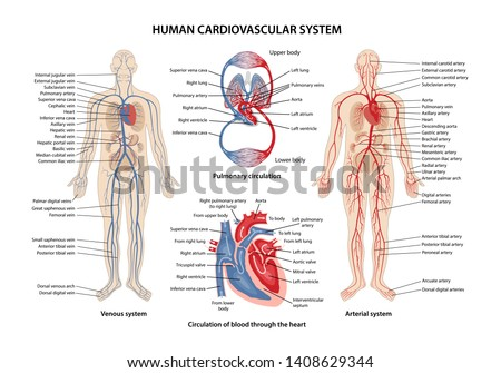 Human cardiovascular system with description of the corresponding parts. Anatomical vector illustration in flat style isolated over white background.