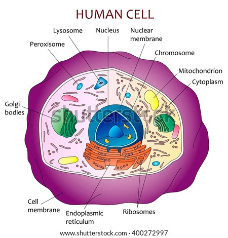 Anatomy of a fat cell