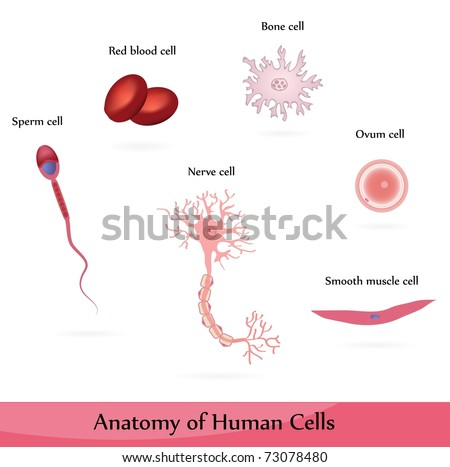 Human cells. Anatomy of muscle, bone, nerve, blood, sperm and ovum cells.