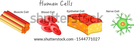 Human cells samples. Cells types Epithelial skin cell, Erythrocyte, muscle cell, blood cell, nerve neuron cell diagram. Biology lesson example. White background. education vector