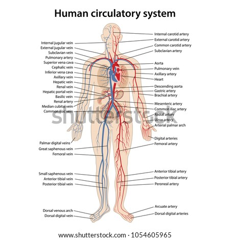 Human circulatory system with main parts labeled. Vector illustration.