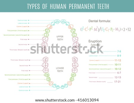 Vector Dental Charts Download Free Vector Art Stock Graphics Images