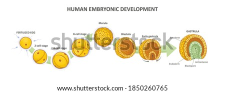 Human embryonic development, or human embryogenesis from zygote to gastrula. Zygote, 2-cell, morula, blastula, gastrula. Vector illustration