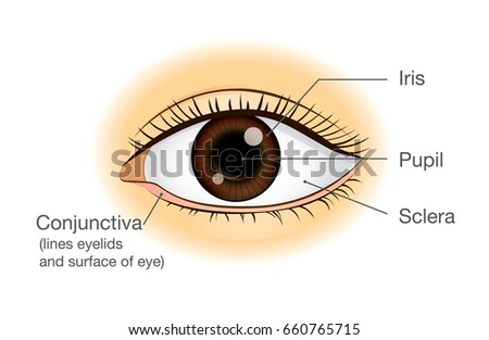 Human eye anatomy in front view. Illustration