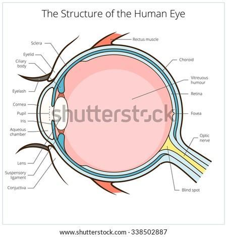 human eye structure scheme