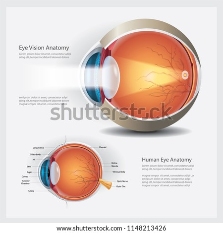 Human Eye Vision Anatomy Vector Illustration