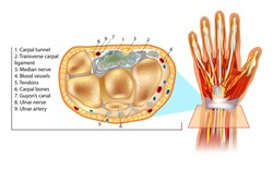 Human Hand Anatomy Illustration. Wrist Cross Section Showing Carpal Tunnel. Cross section through hand.