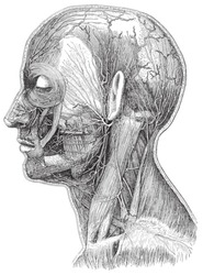 Human head anatomy - vein system / vintage illustration from Meyers Konversations-Lexikon 1897
