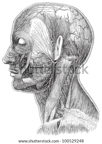Human head anatomy - vein system / vintage illustration from Meyers Konversations-Lexikon 1897