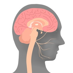 human head silhouette and facial nerve, vector illustration