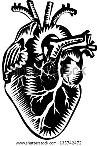 Human Heart Stock Vector 135742472 : Shutterstock