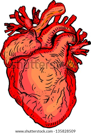 Human heart - stock vector