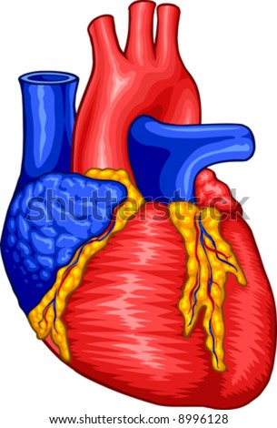 heart diagram for kids. The Human Heart Diagram For