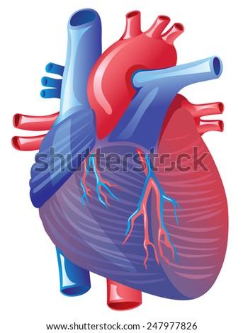 Human Heart Anatomy Isolated On White Background Ez Canvas