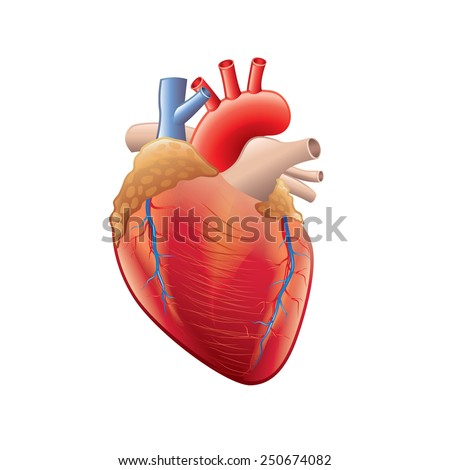 human heart anatomy isolated on