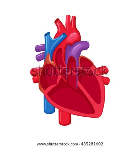 human heart anatomy medical