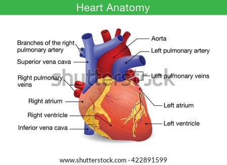 human heart anatomy vector