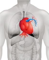 Human heart diagram in detail illustration