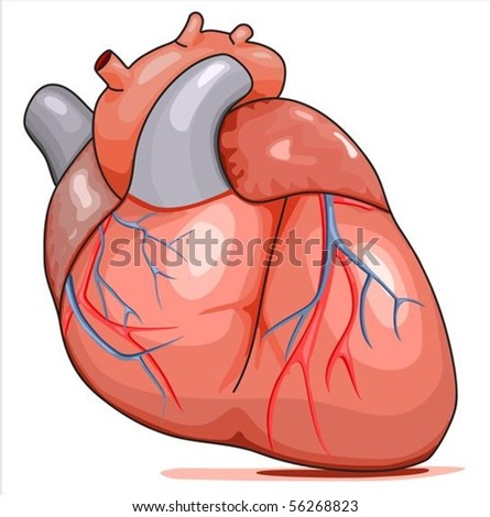 Human Heart. Illustration isolated on white background.