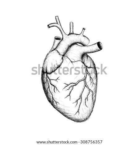 human heart internal organs