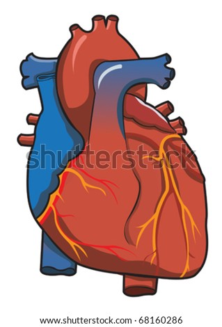 Human Heart System With Isolated White Background