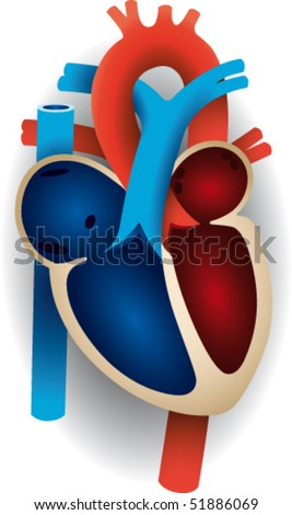 Human heart with the main veins - stock vector