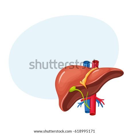 human liver anatomy medical