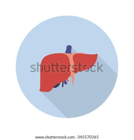 human liver vector illustration