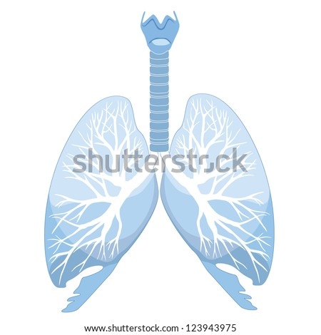 Human lungs and bronchi
