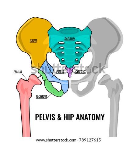 Human male anatomy scheme. Main pelvis bones - sacrum, ilium, coccyx, pubis, ischium and femur. Vector illustration isolated on a white background.