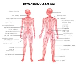 Human male female body central and peripheral nervous system realistic physiology educative chart anatomical terminology vector illustration