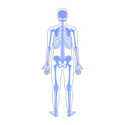 Human man skeleton anatomy in back view. Vector isolated flat illustration of skull and bones in body. Halloween, medical, educational or science banner.