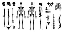 Human man skeleton anatomy in front, profile and back view. Vector isolated flat illustration of skull and bones. Halloween, medical, educational or science banner